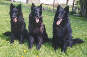 Braxi, Arden, and Ceth, Epix Belgian Sheepdogs